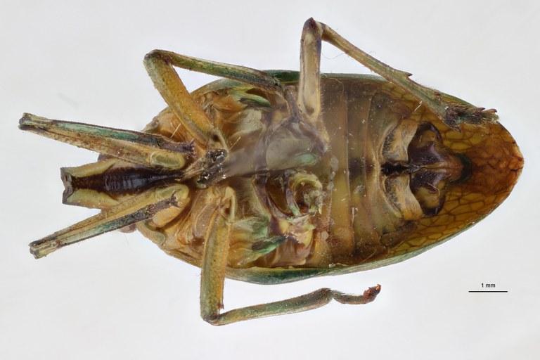 Prosonoma viridis ht V ZS PMax Scaled.jpeg
