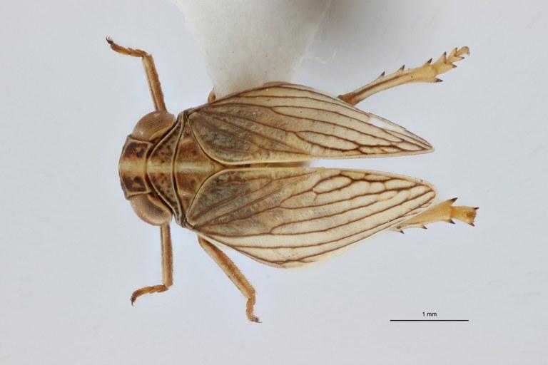 Semissus hesperidicus ht D ZS PMax.jpg