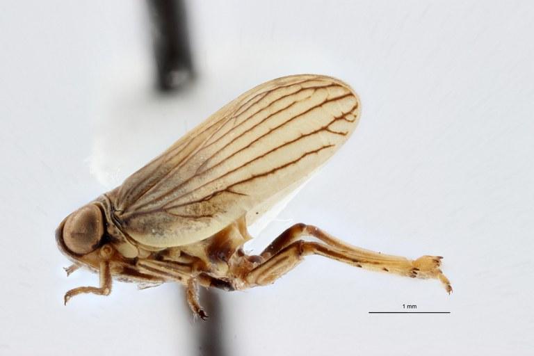 Semissus hesperidicus ht L ZS PMax.jpg