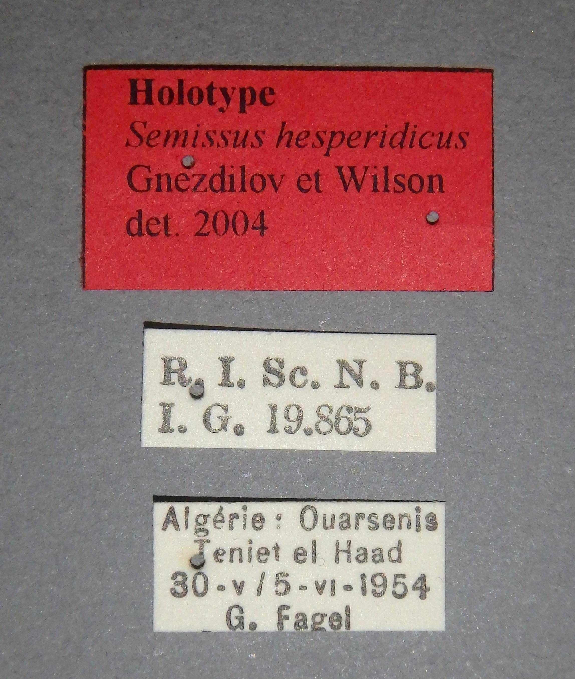 Semissus hesperidicus ht Lb.JPG