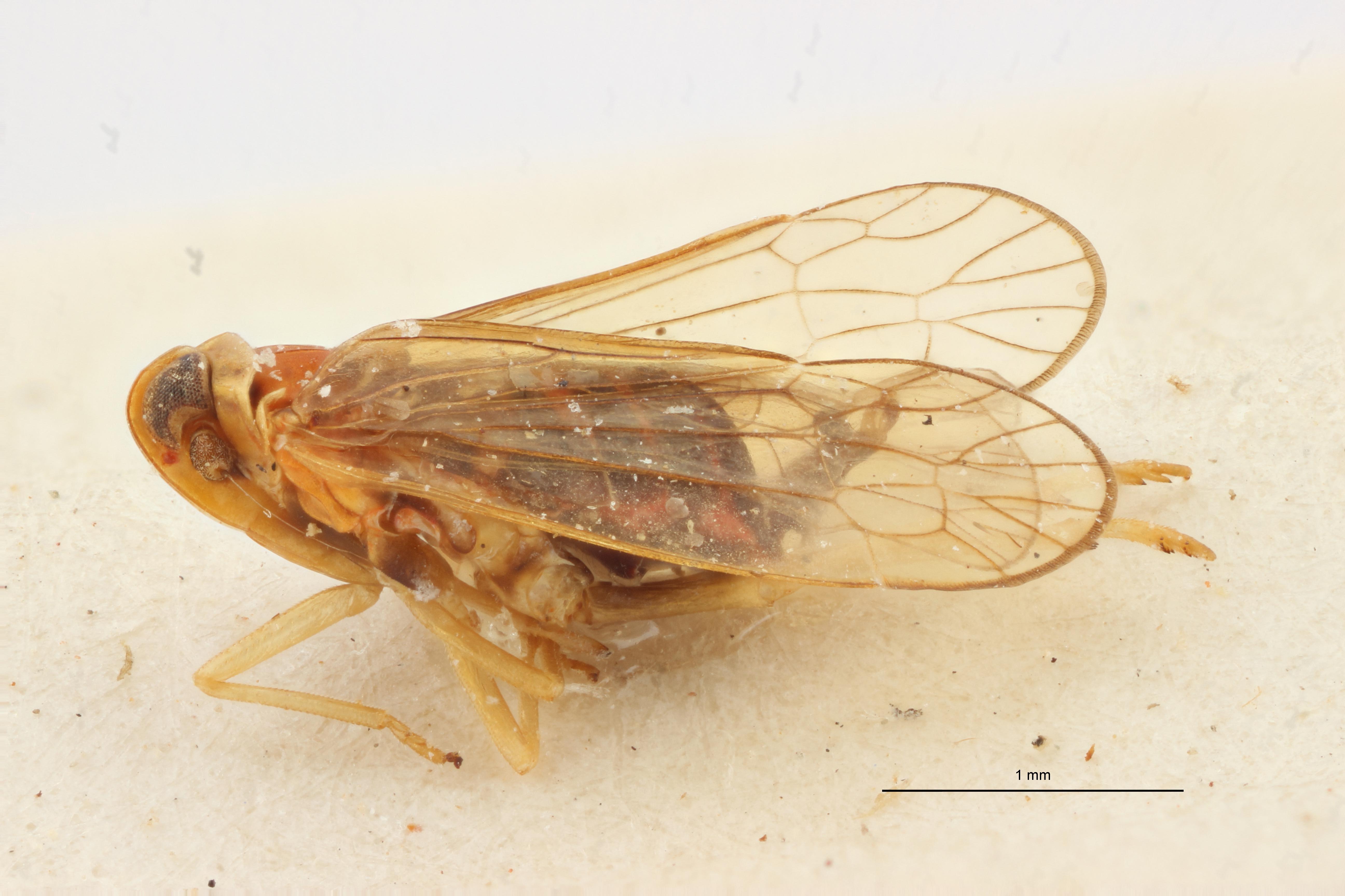 Paramicrixia insularis pt1 L ZS PMax Scaled.jpeg