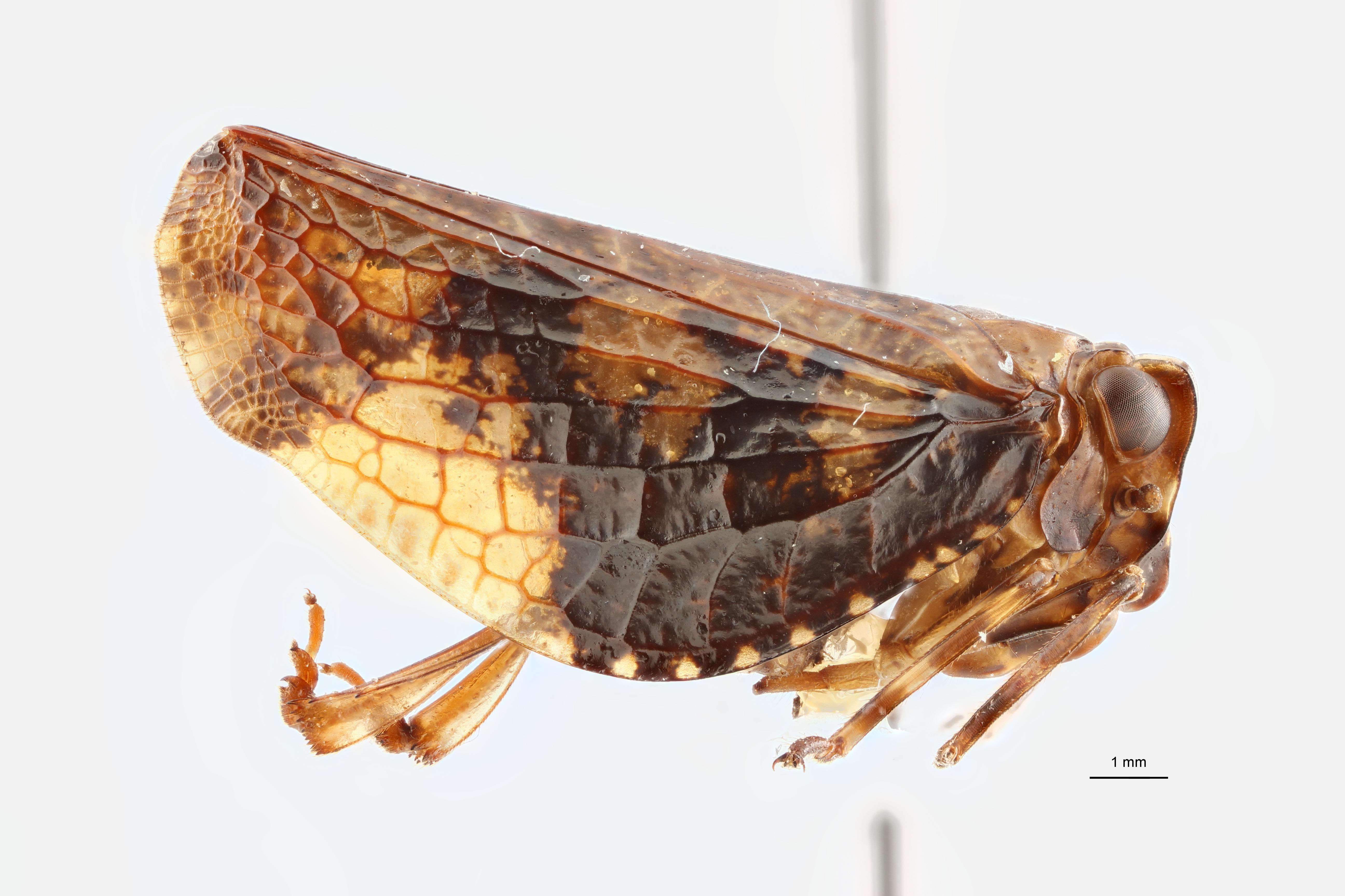Goniopsarites tonkineusis pt1 L ZS PMax Scaled.jpeg
