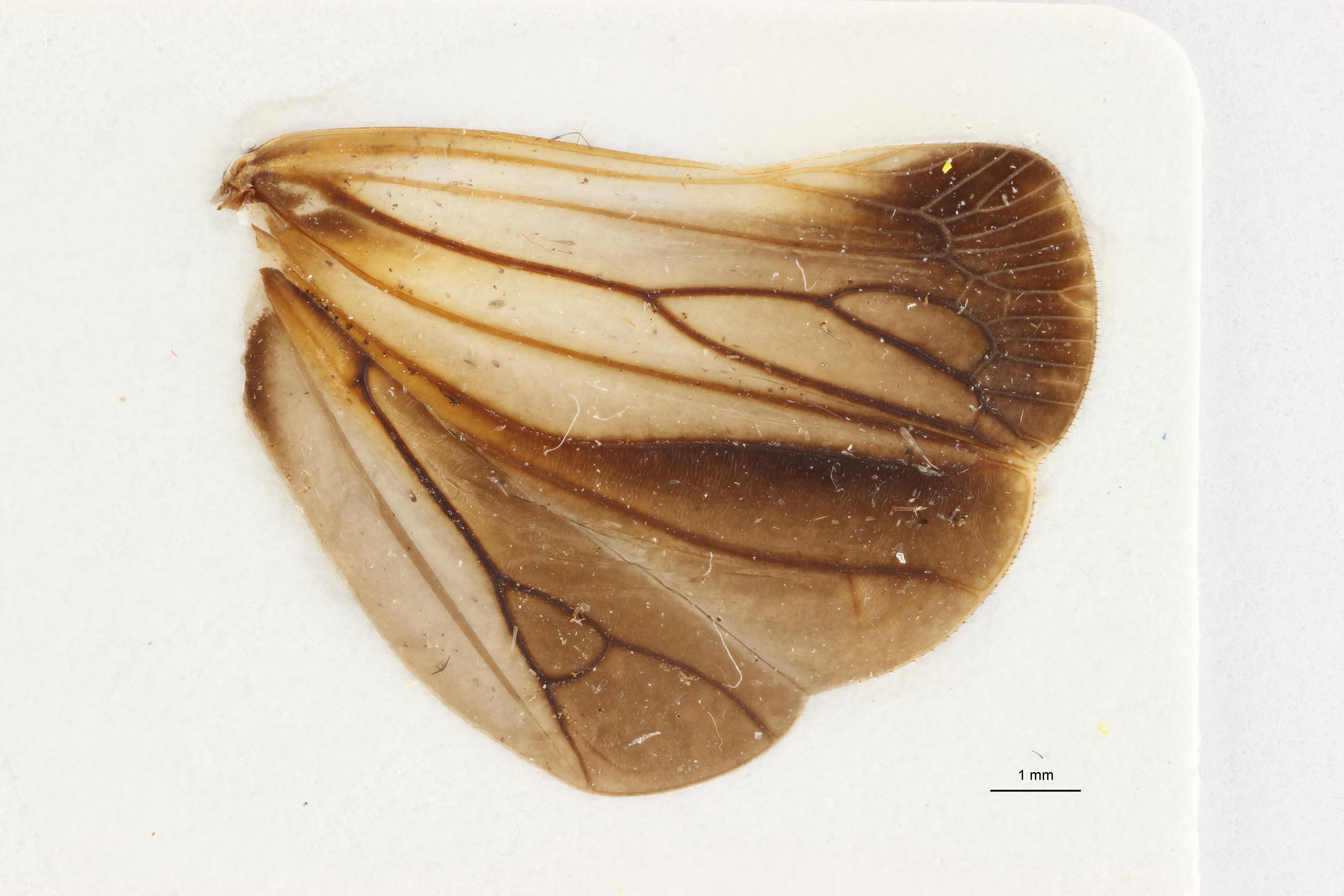 Goniopsarites tonkineusis pt1 W ZS PMax Scaled.jpeg