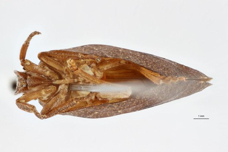 Orthophana (Eupharos) tamdaoina ht V ZS PMax Scaled.jpeg