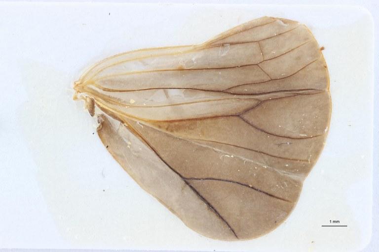 Orthophana (Eupharos) tamdaoina ht W ZS PMax Scaled.jpeg