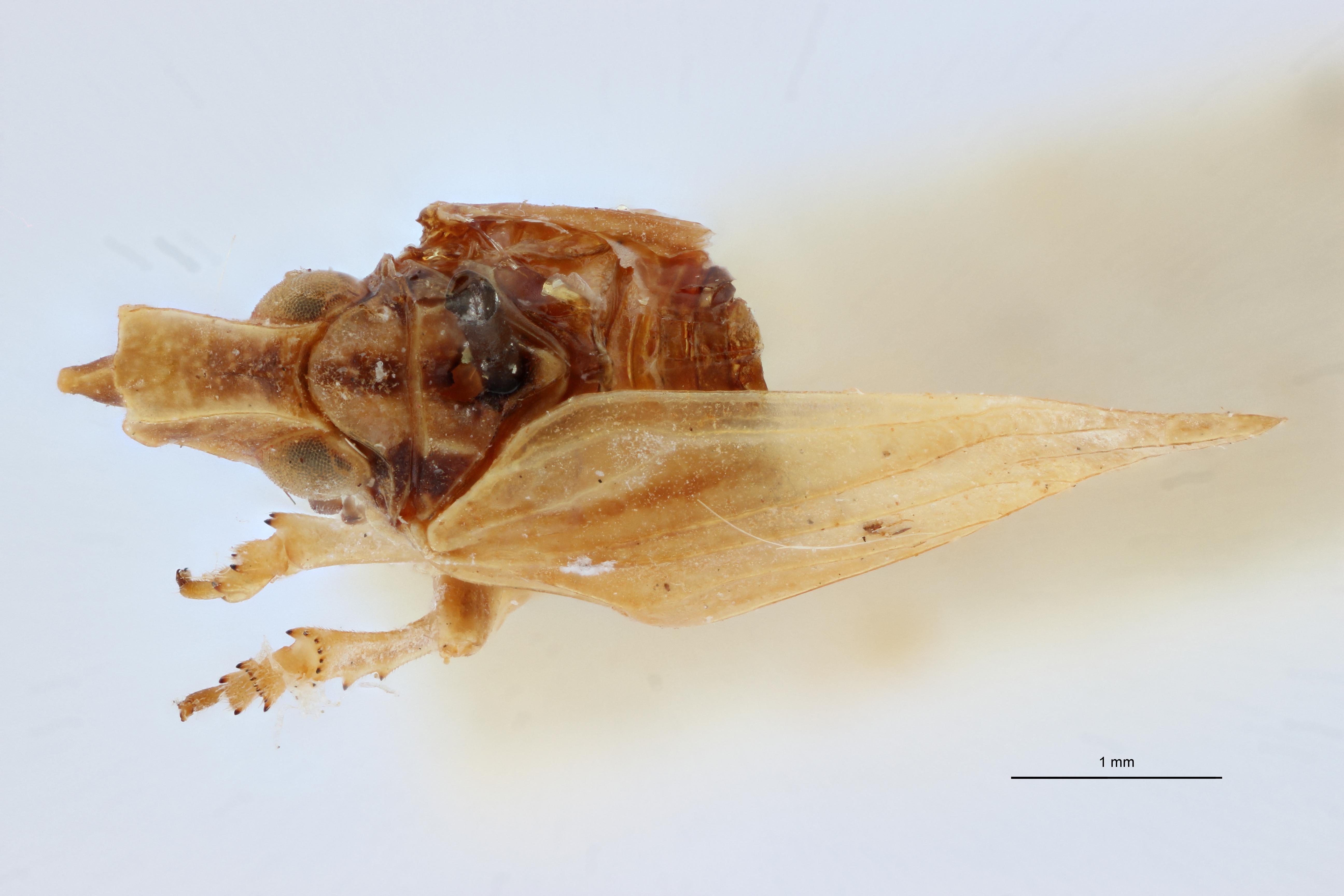 Bowesdorpia tricornis pt D ZS PMax Scaled.jpeg