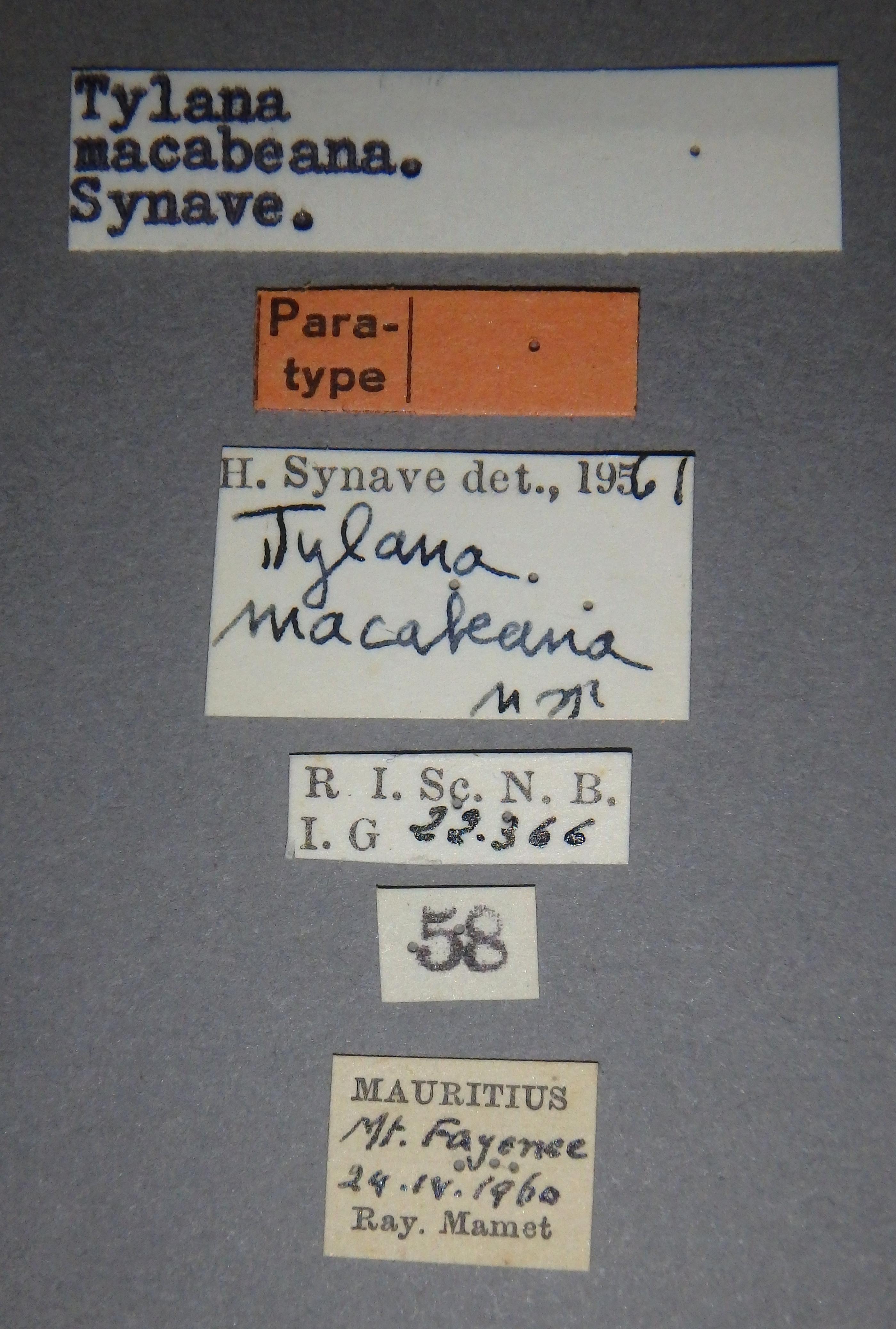Tylana macabeana pt Lb.JPG