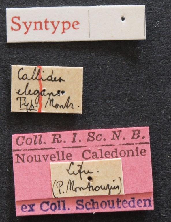 Callidea elegans syn 2 Lb.JPG