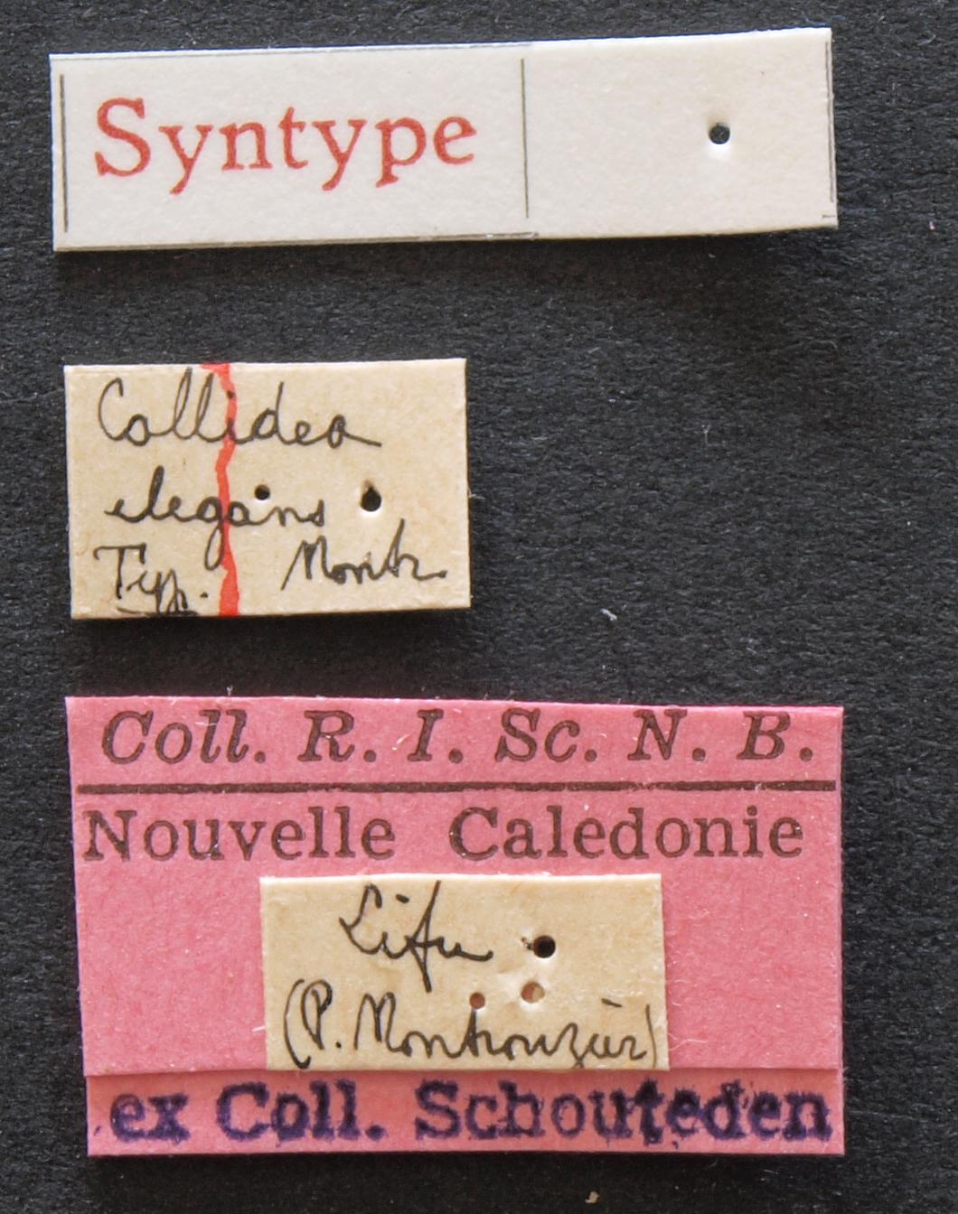 Callidea elegans syn Lb.JPG