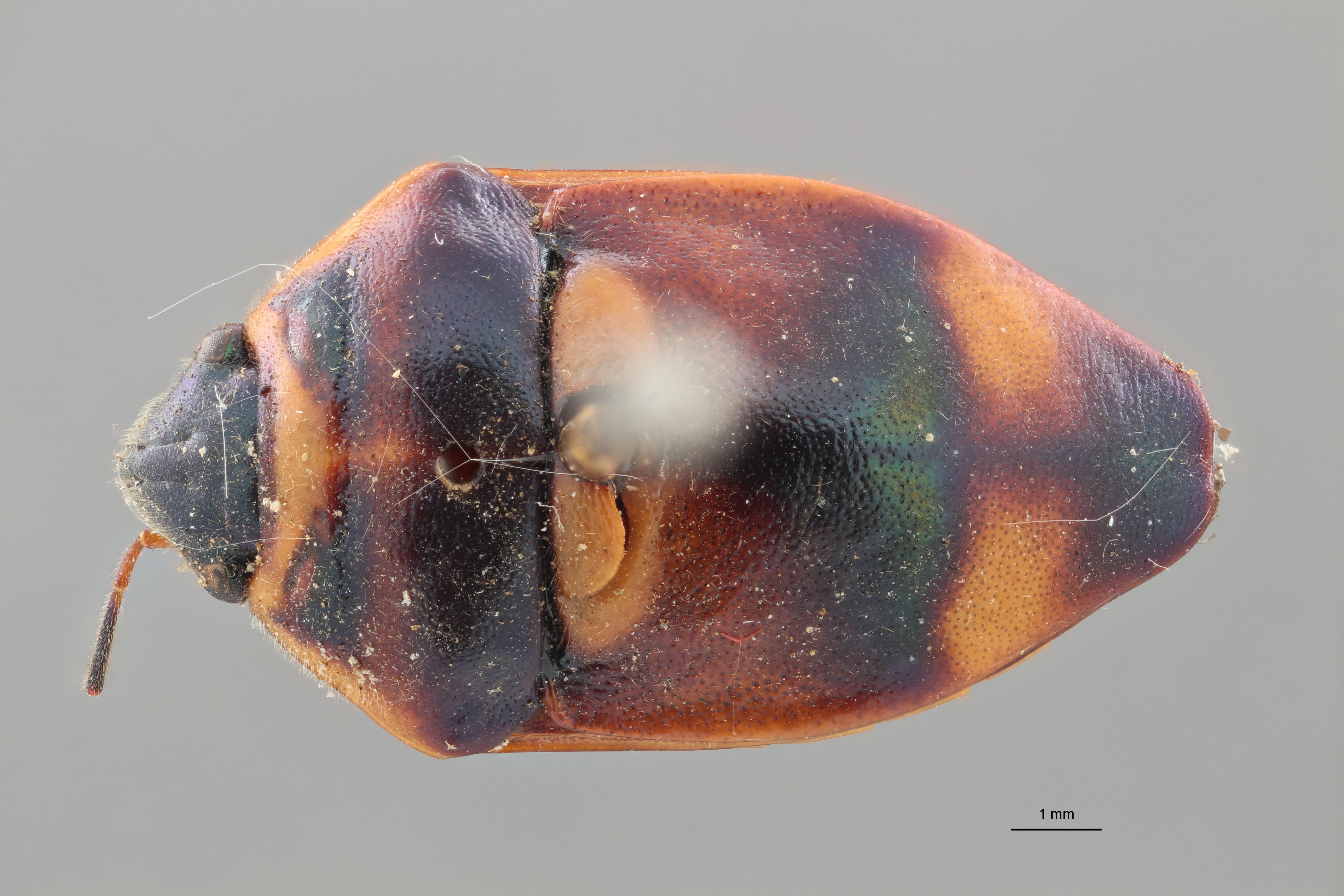 Callidea elegans syn D ZS PMax.jpg