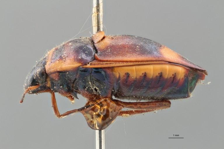 Callidea elegans syn L ZS PMax.jpg