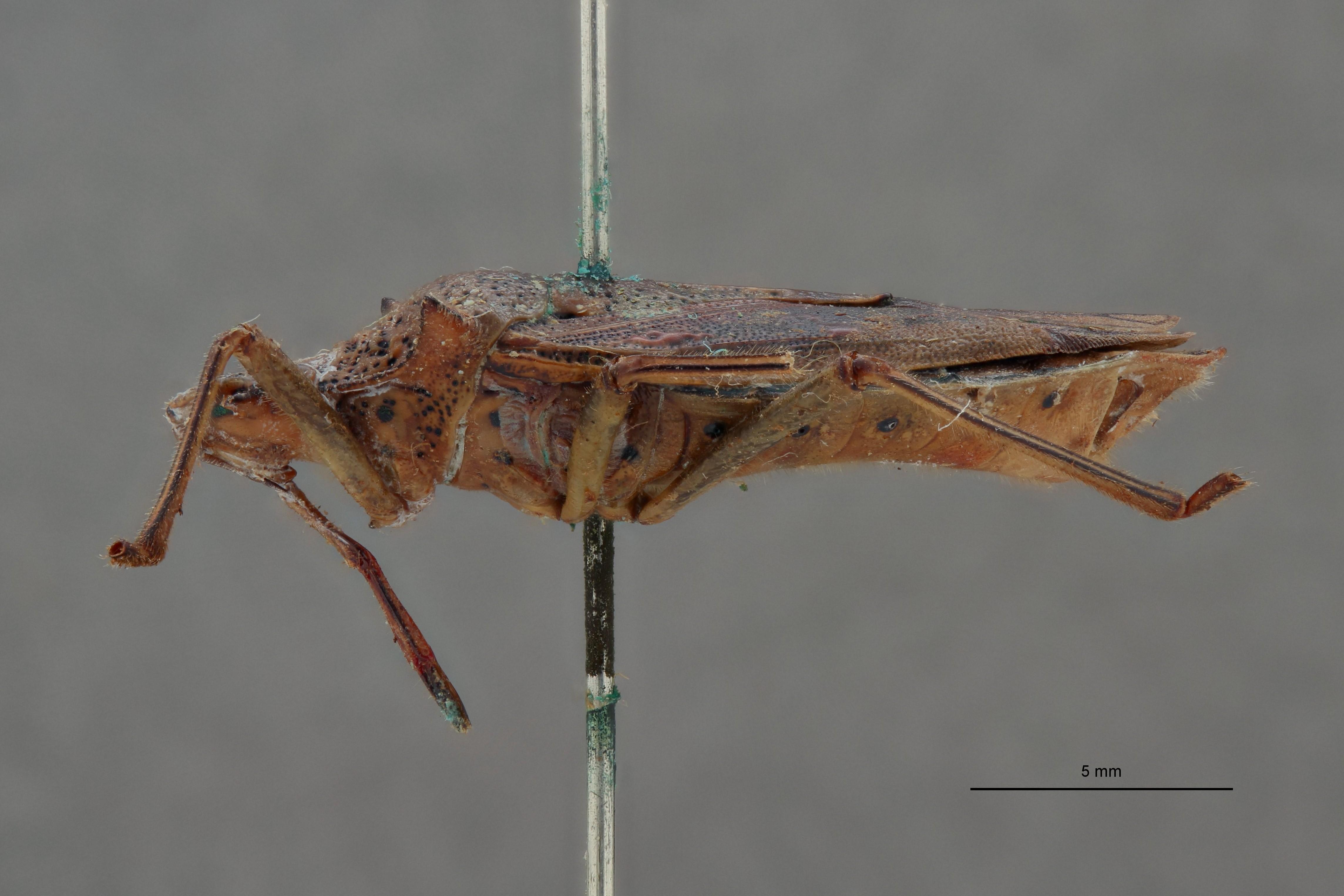 Auxentius distinctus t L.jpg