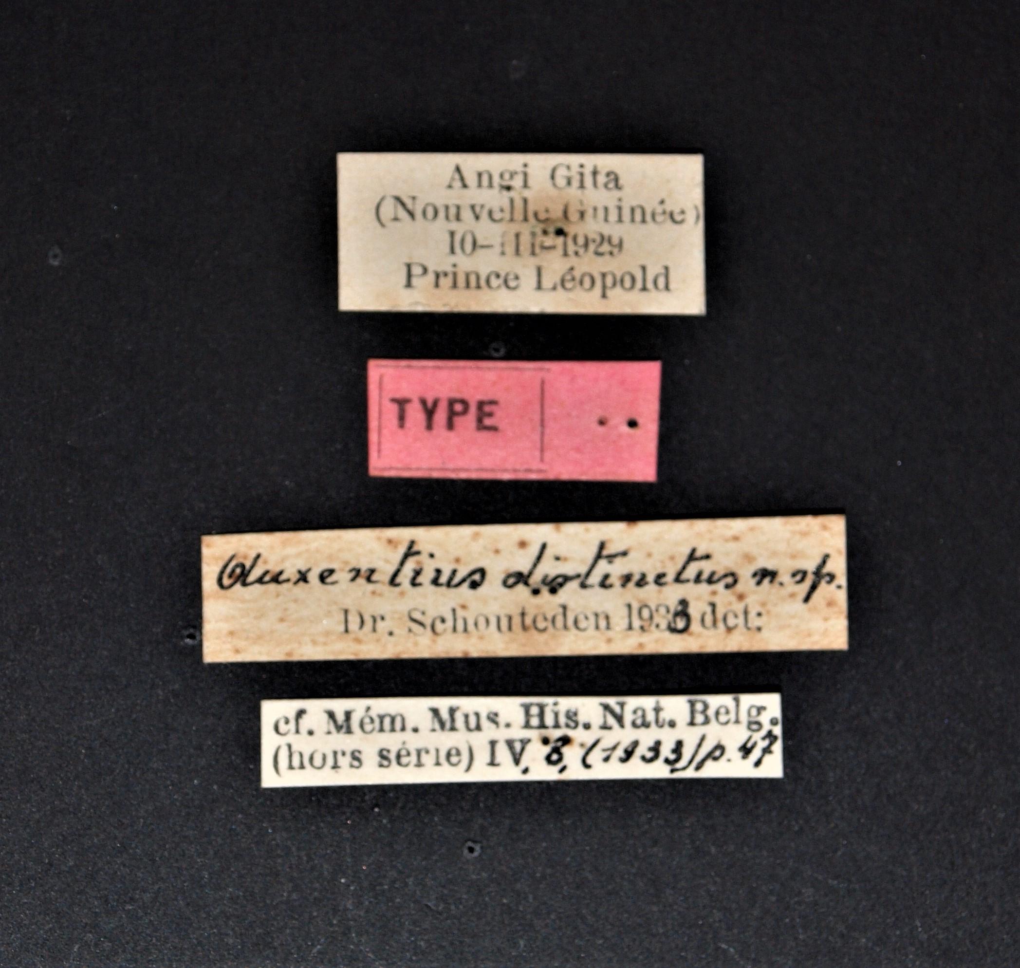 Auxentius distinctus t.JPG