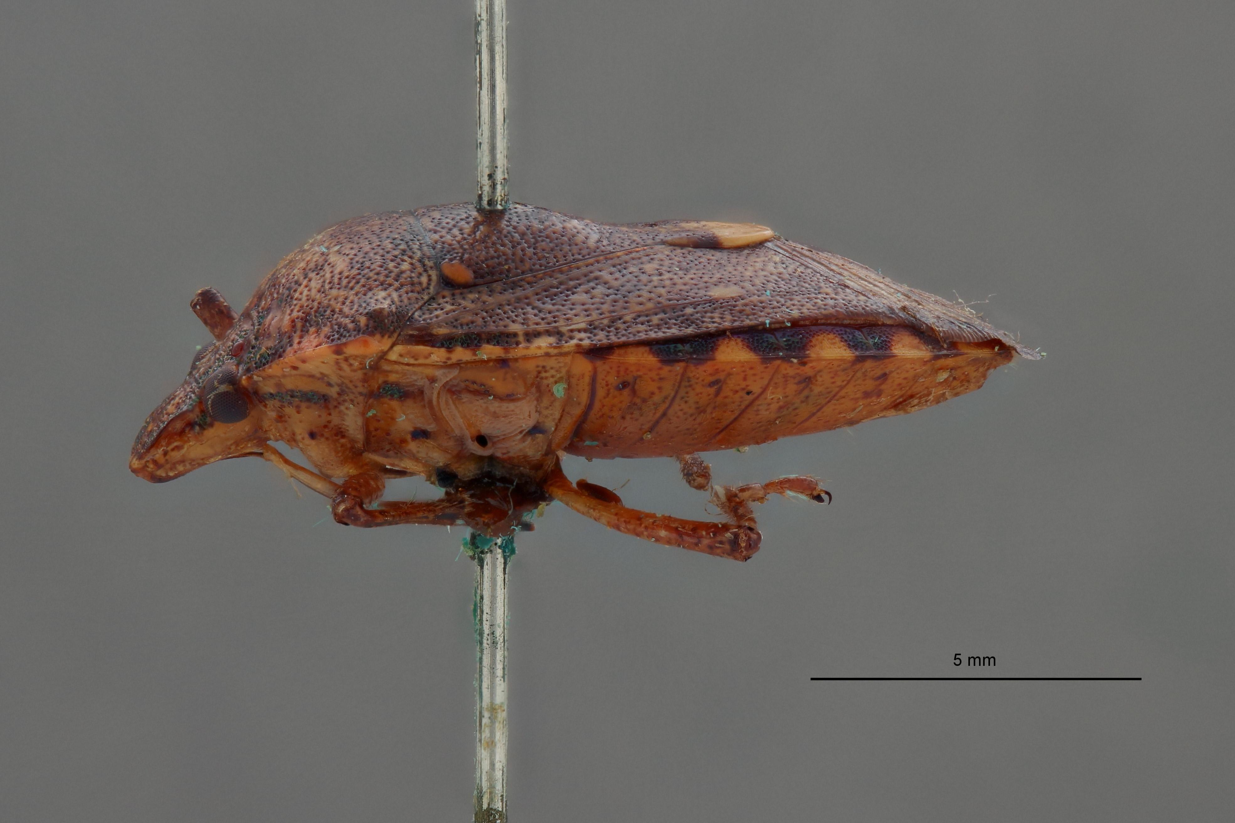Halyomorpha leopoldi st L.jpg