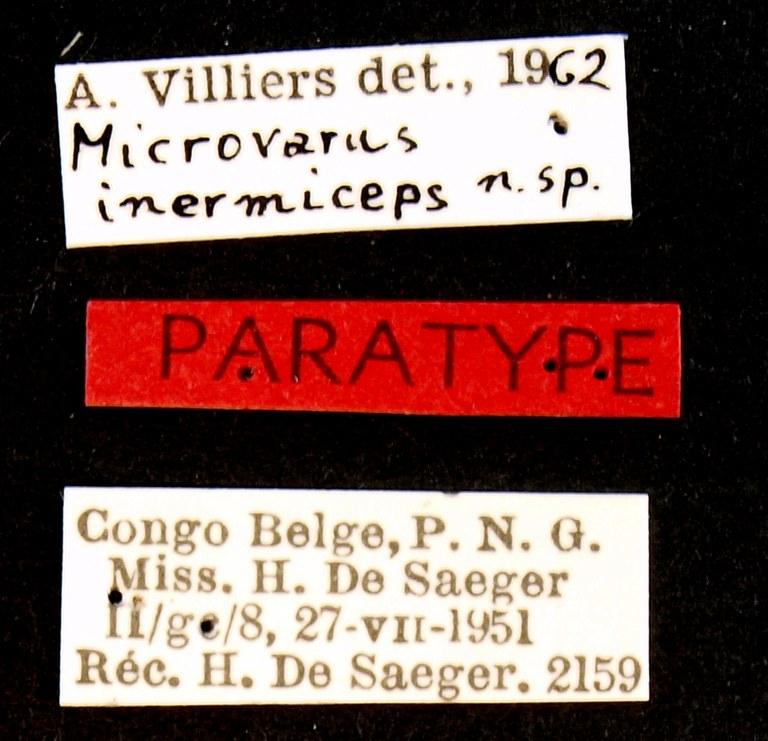 Microvarus inermiceps pt Lb.JPG