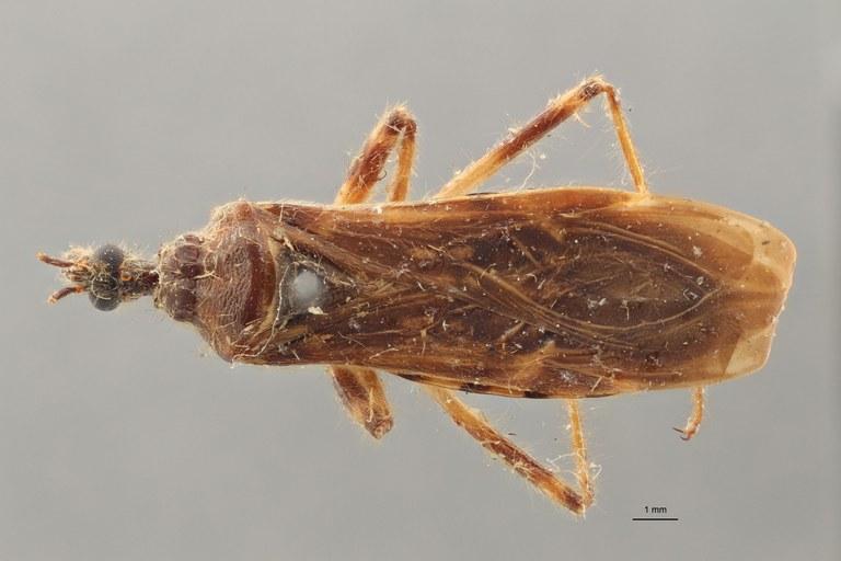 Reduvius cervinus pt D ZS PMax.jpg