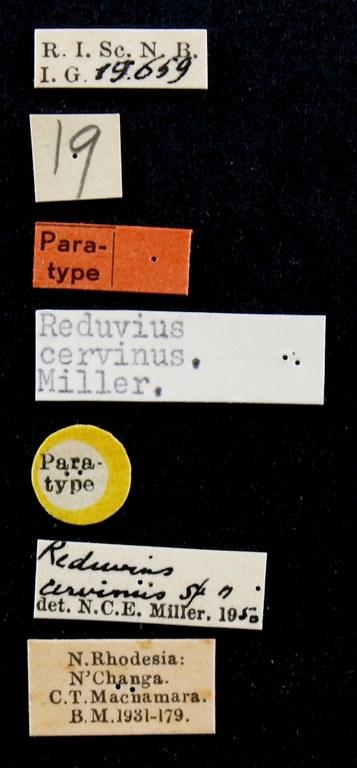 Reduvius cervinus pt Lb.JPG
