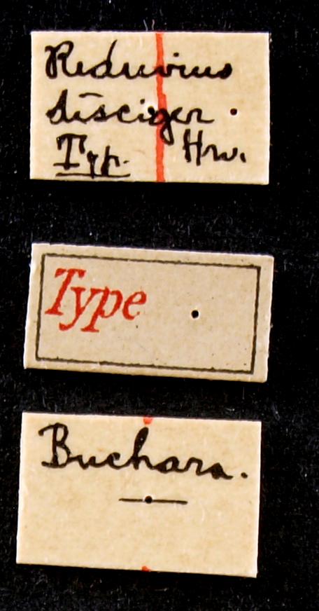 Reduvius disciger typ Lb.JPG