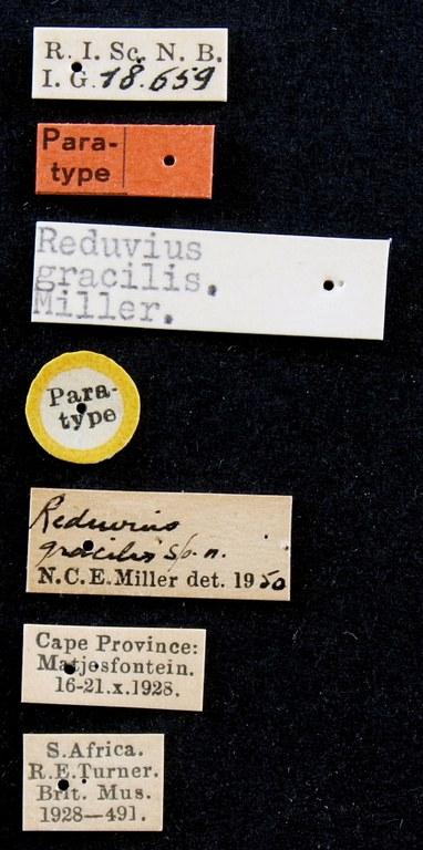 Reduvius gracilis pt Lb.JPG