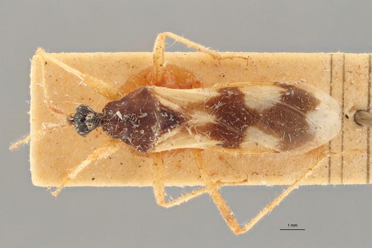 Reduvius tabidus pt D ZS PMax.jpg
