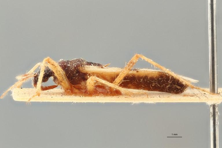 Reduvius tabidus pt L ZS PMax.jpg