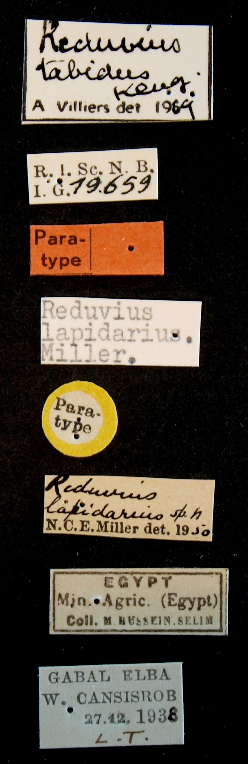 Reduvius tabidus pt Lb.JPG