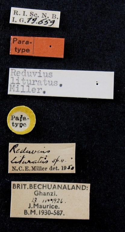 Reduvius lituratus pt Lb.JPG