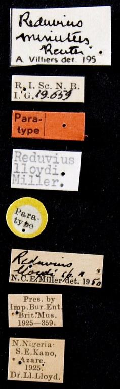 Reduvius lloydi pt Lb.JPG