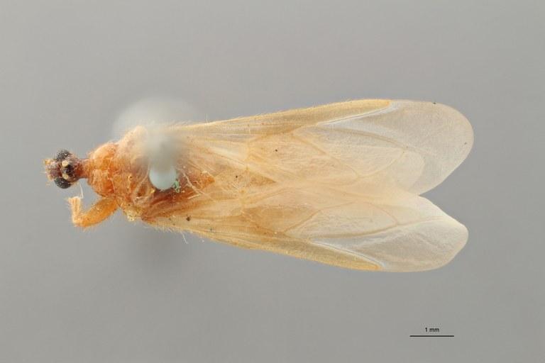 Reduvius longipennis pt D ZS PMax_1.jpg