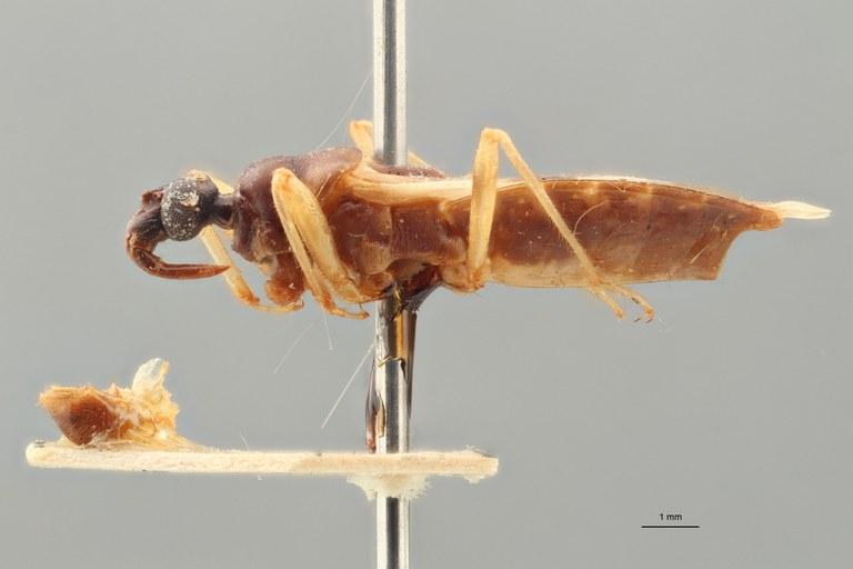 Reduvius suffusus pt L ZS PMax.jpg