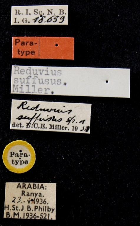 Reduvius suffusus pt Lb.JPG