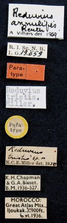 Reduvius annulipes pt Lb.JPG