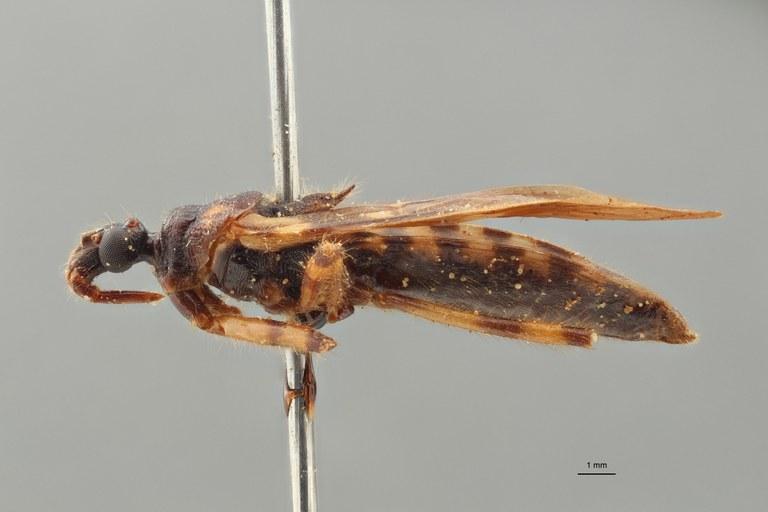 Reduvius maculosus pt L ZS PMax_1.jpg