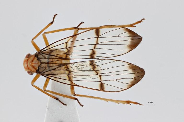 Paricanoides bresseeli ht D ZS PMax.jpg