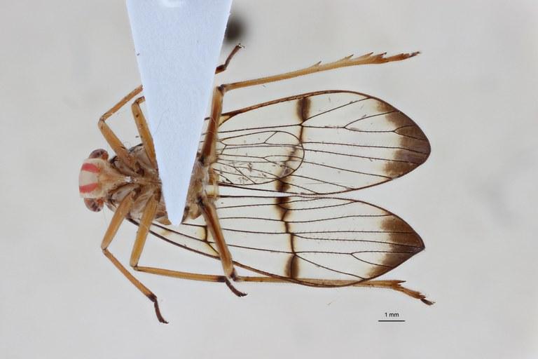 Paricanoides bresseeli ht V ZS PMax.jpg