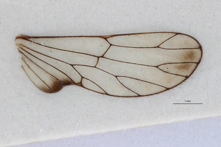 Paricanoides bresseeli ht W ZS PMax.jpg