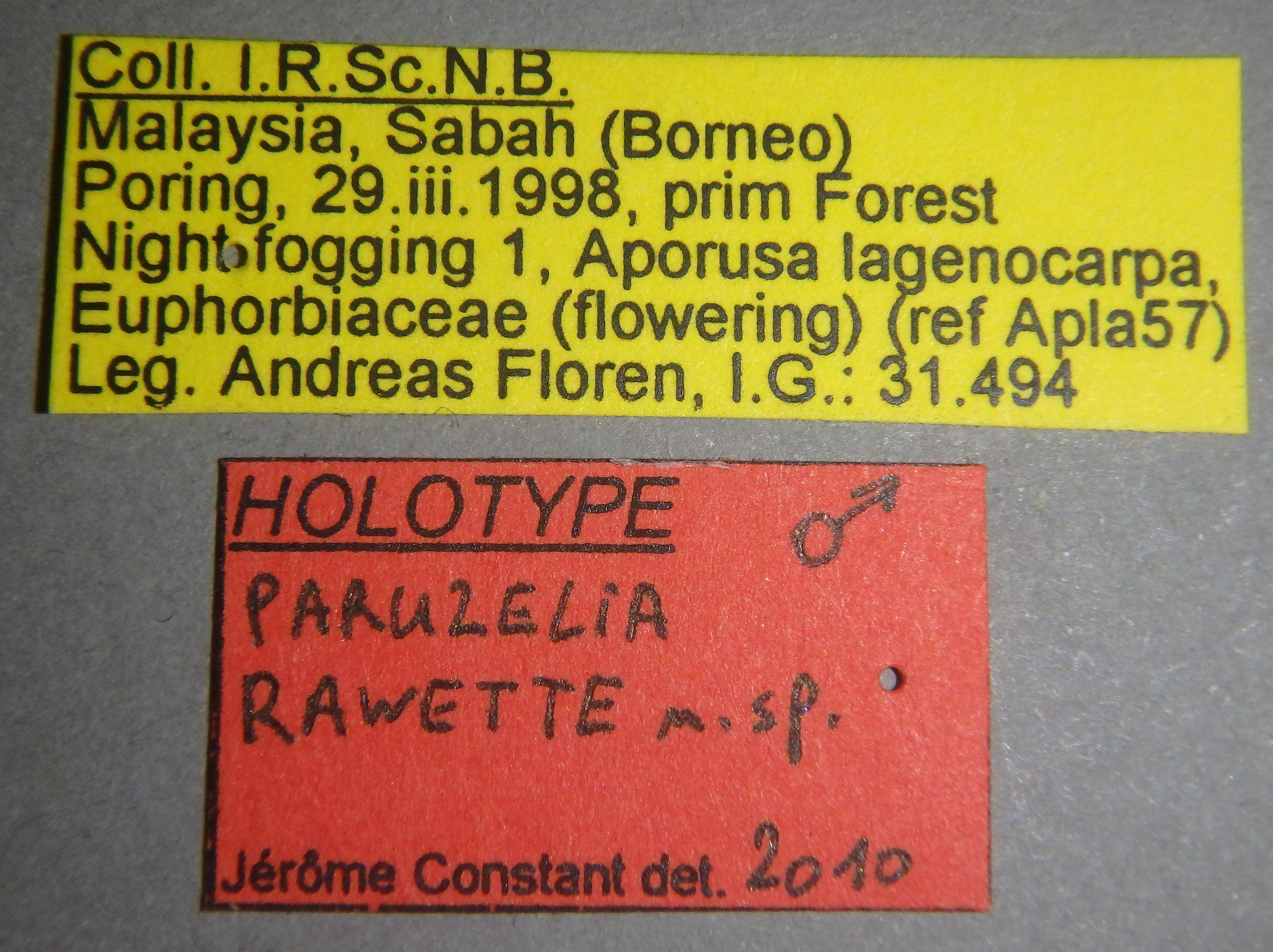 Paruzelia rawette ht Lb.JPG