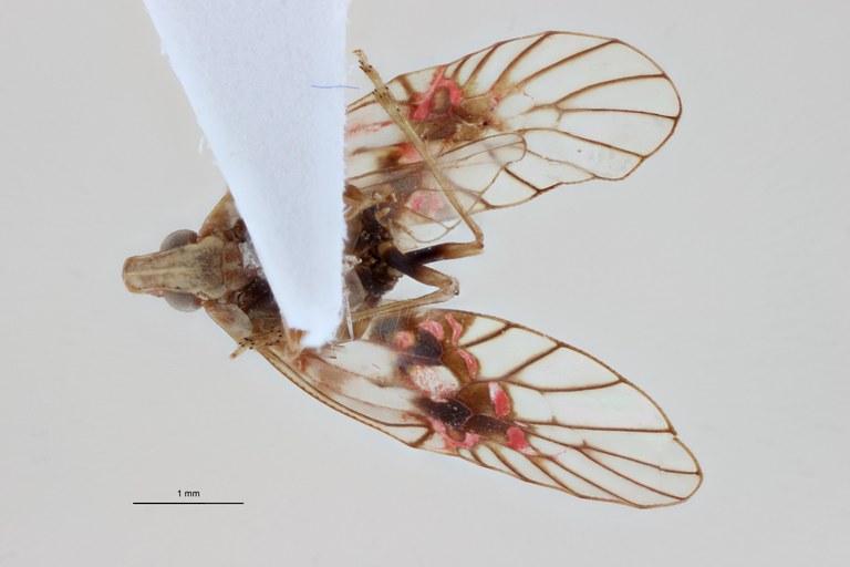 Paruzelia rawette ht V ZS PMax.jpg