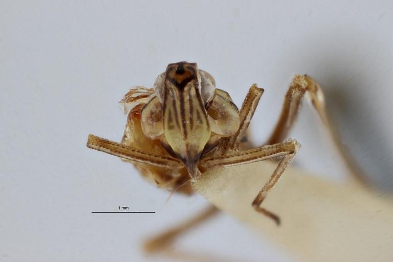 Clardea nigrostriata pt V ZS PMax.jpg