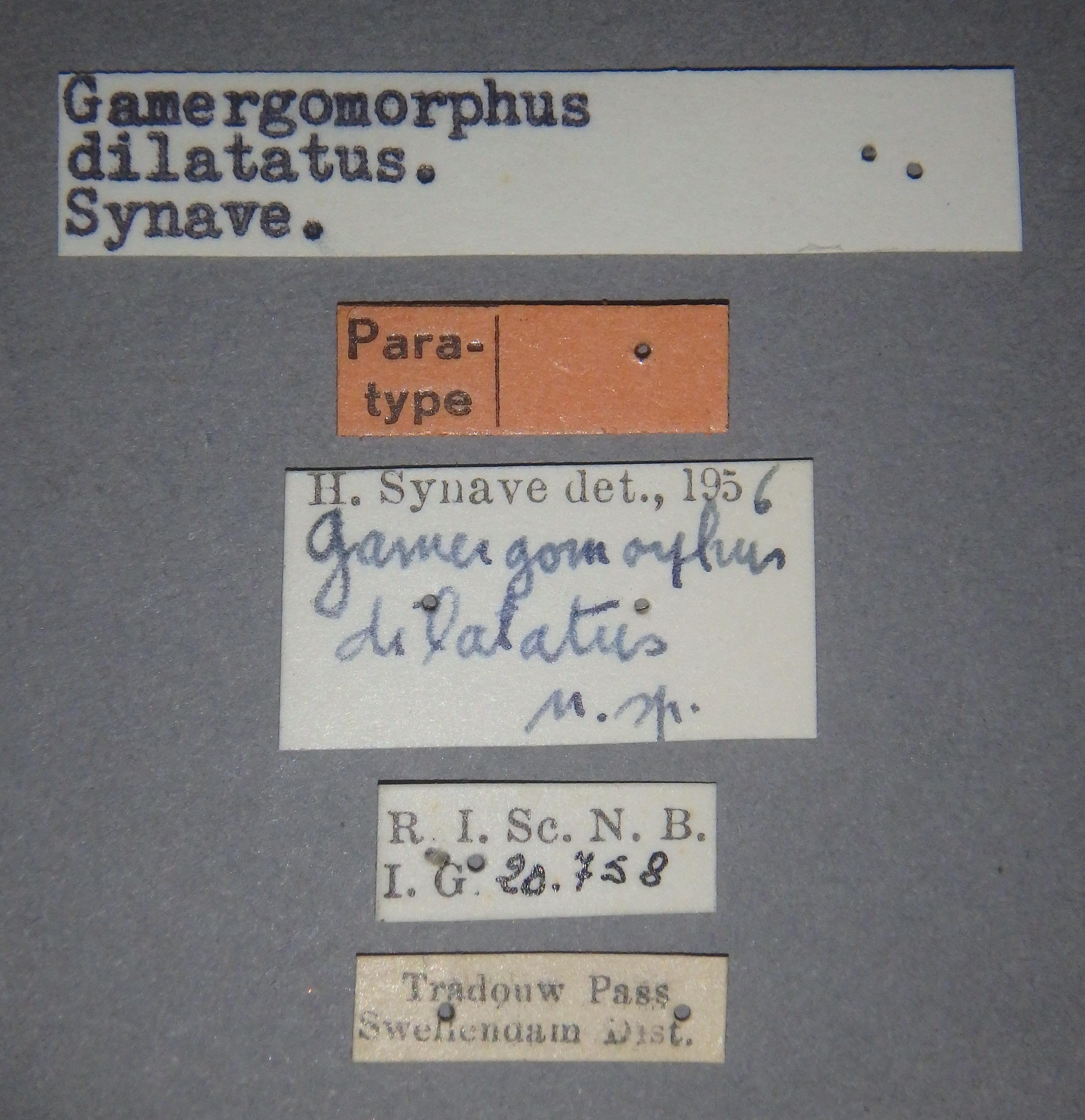 Gamergomorphus dilatatus pt1 Lb.JPG
