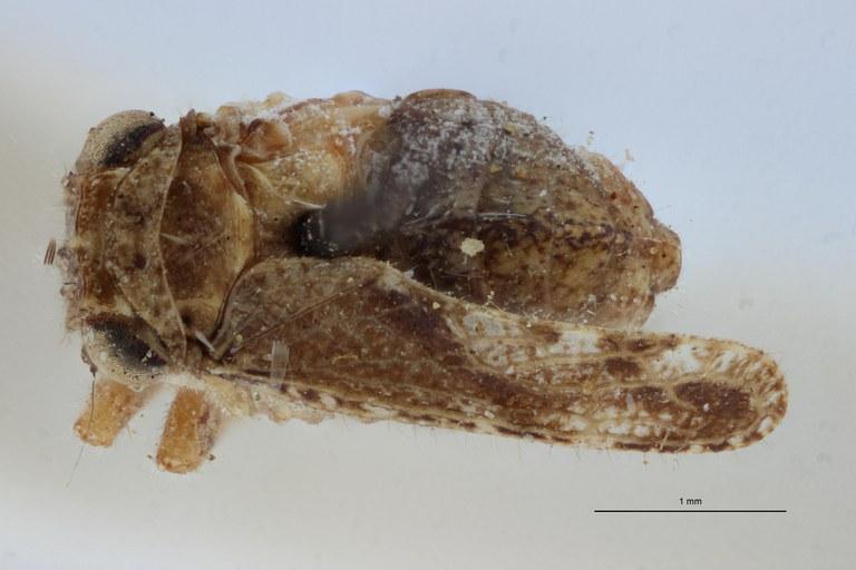 Gamergomorphus maculipennis pt D ZS PMax Scaled.jpeg