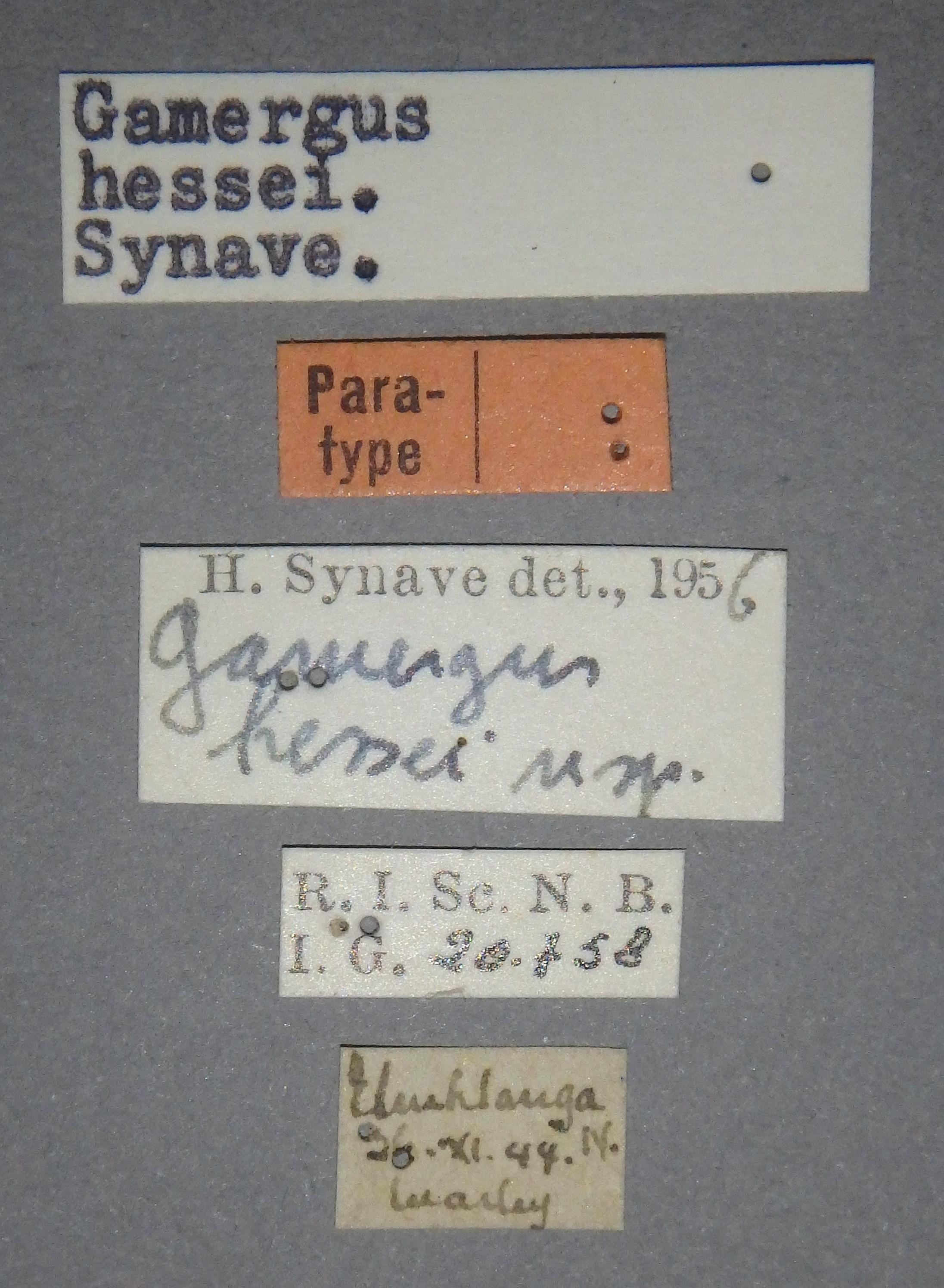 Gamergus hessei pt Lb.JPG
