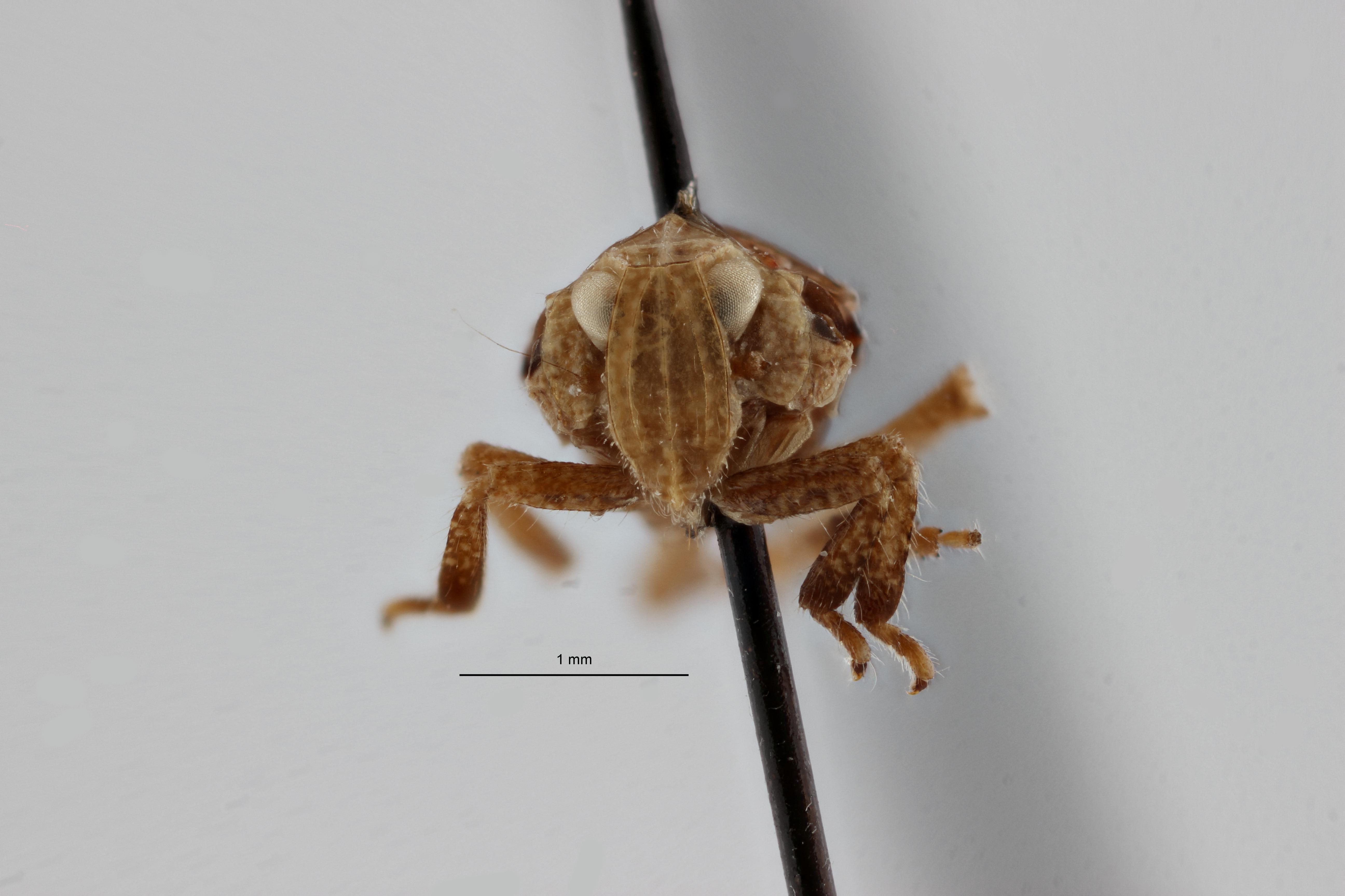 Lagoana angolensis pt2 F ZS PMax.jpg