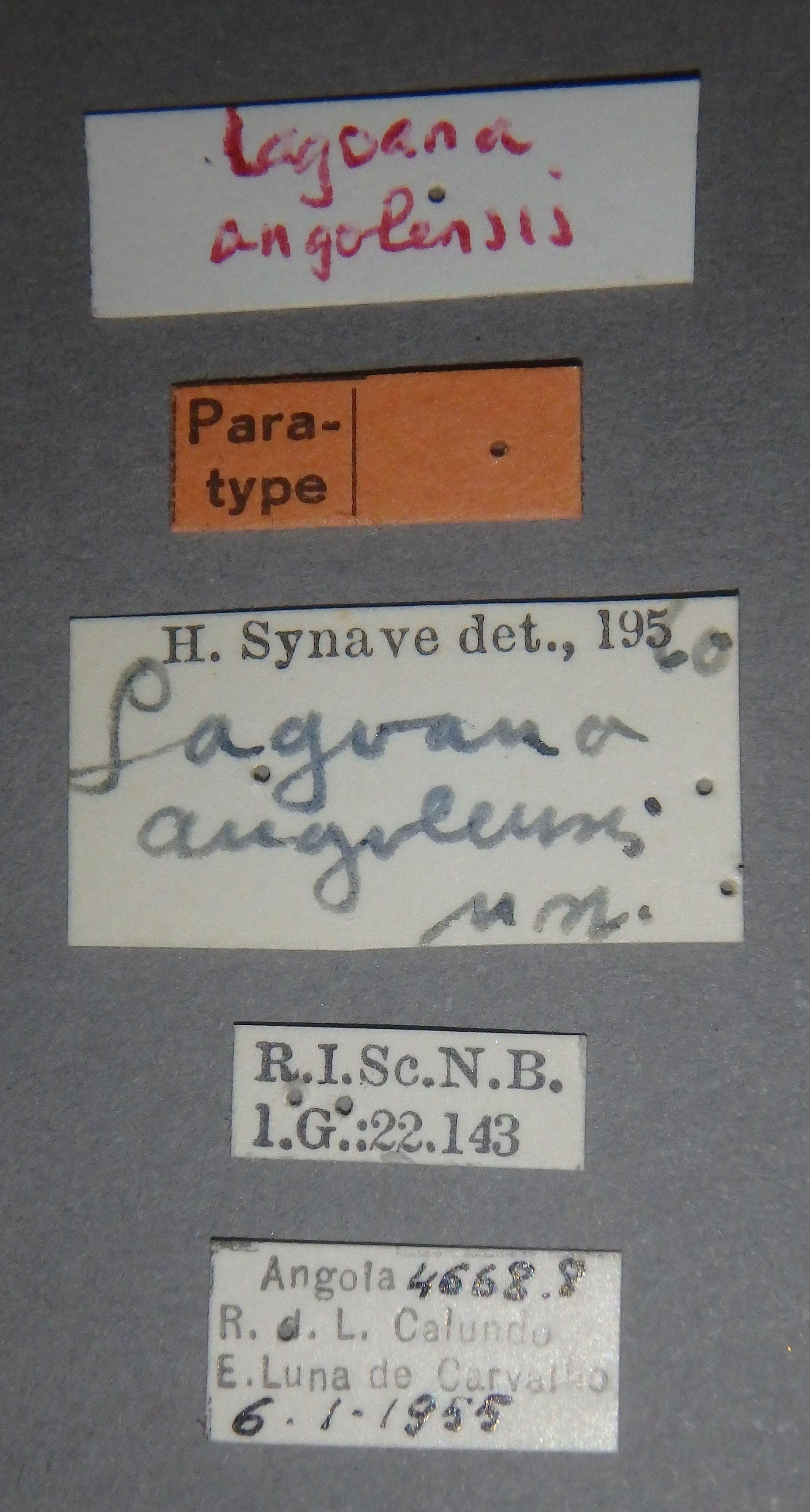 Lagoana angolensis pt2 Lb.JPG