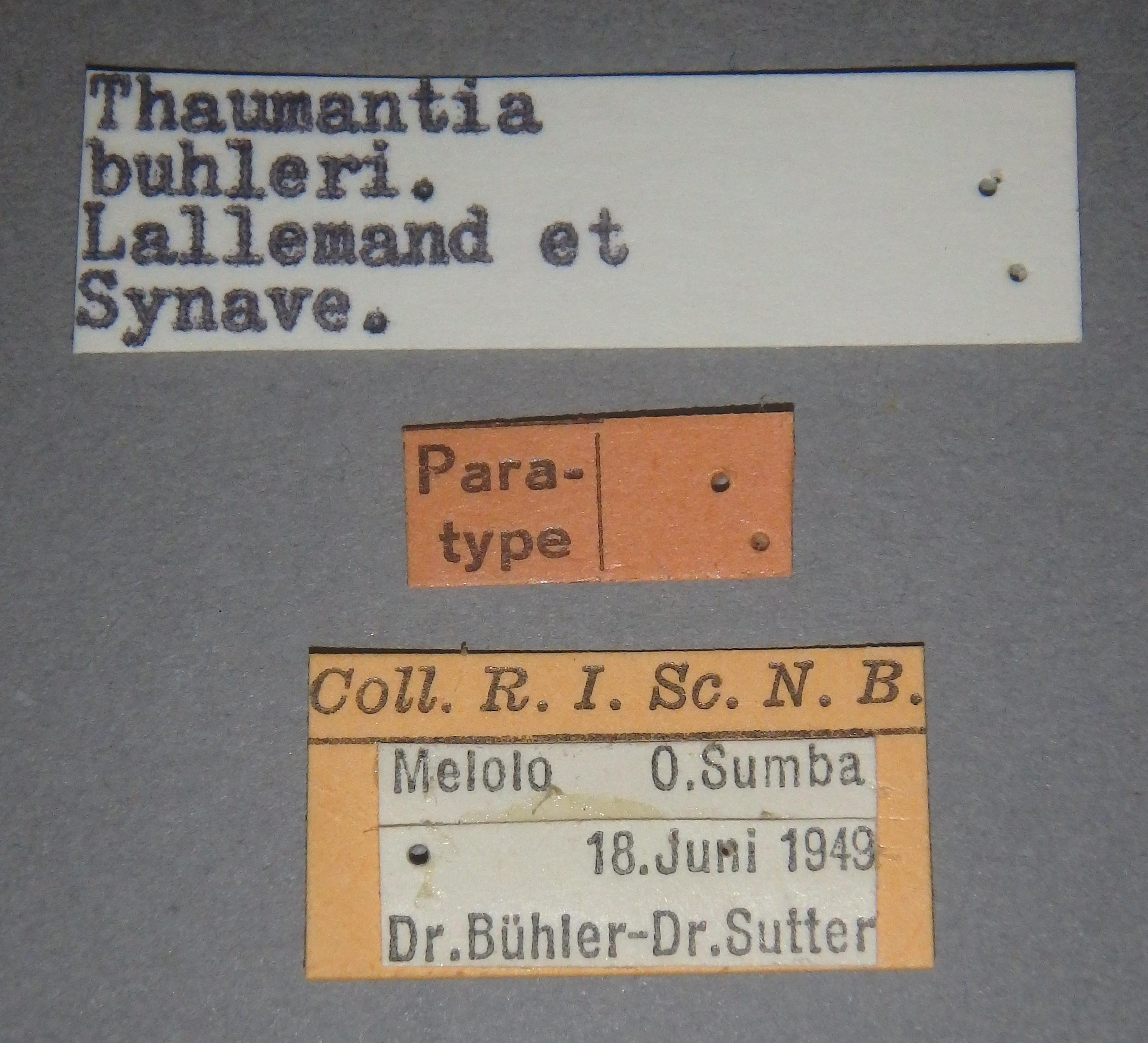Thaumantia buhleri pt2 Lb.JPG