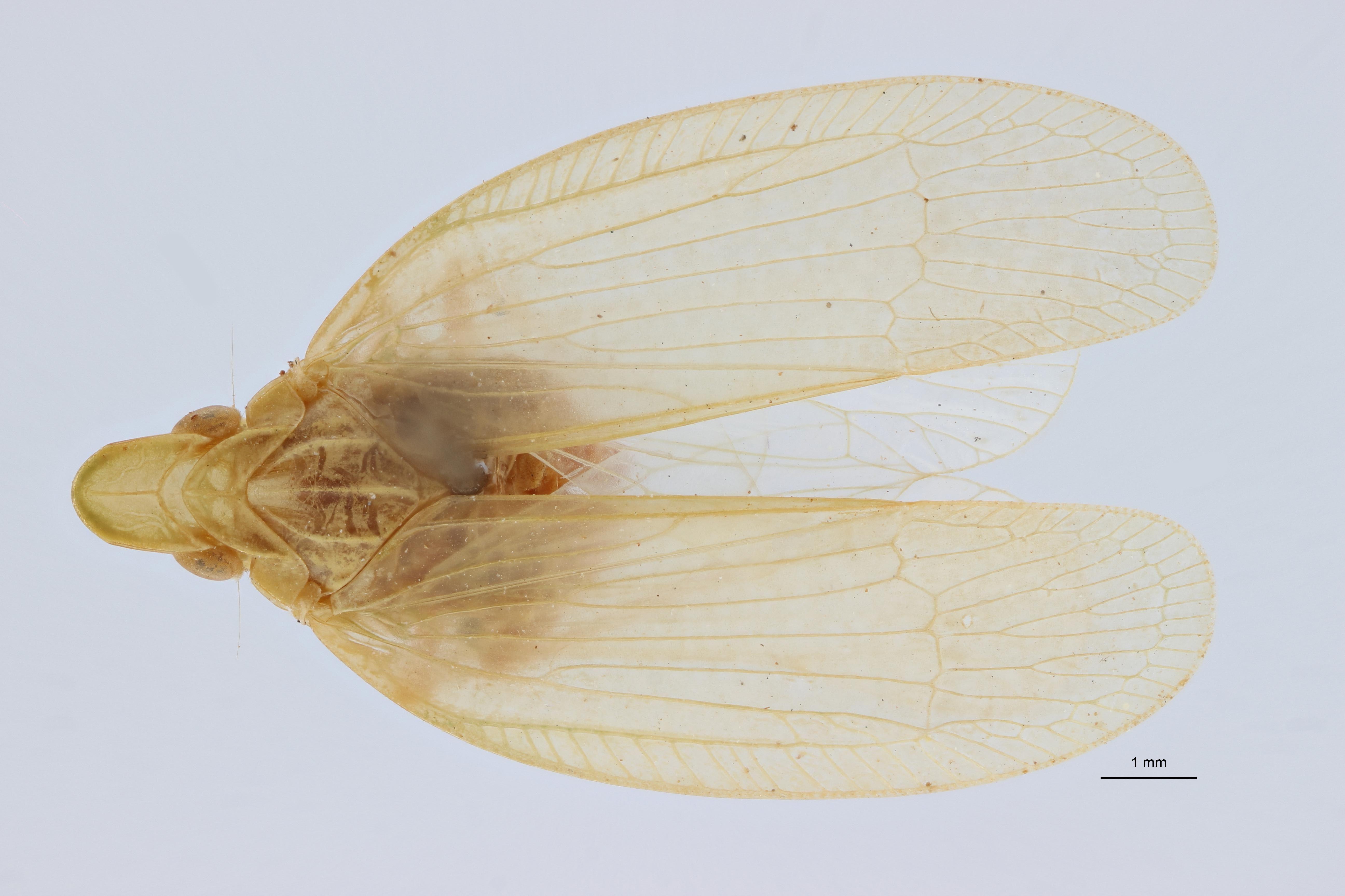 Thaumantia buhleri pt1 D ZS PMax.jpg