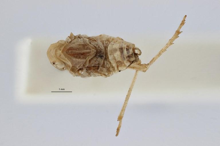 Tropiduchus bifasciatus ht D ZS PMax.jpg