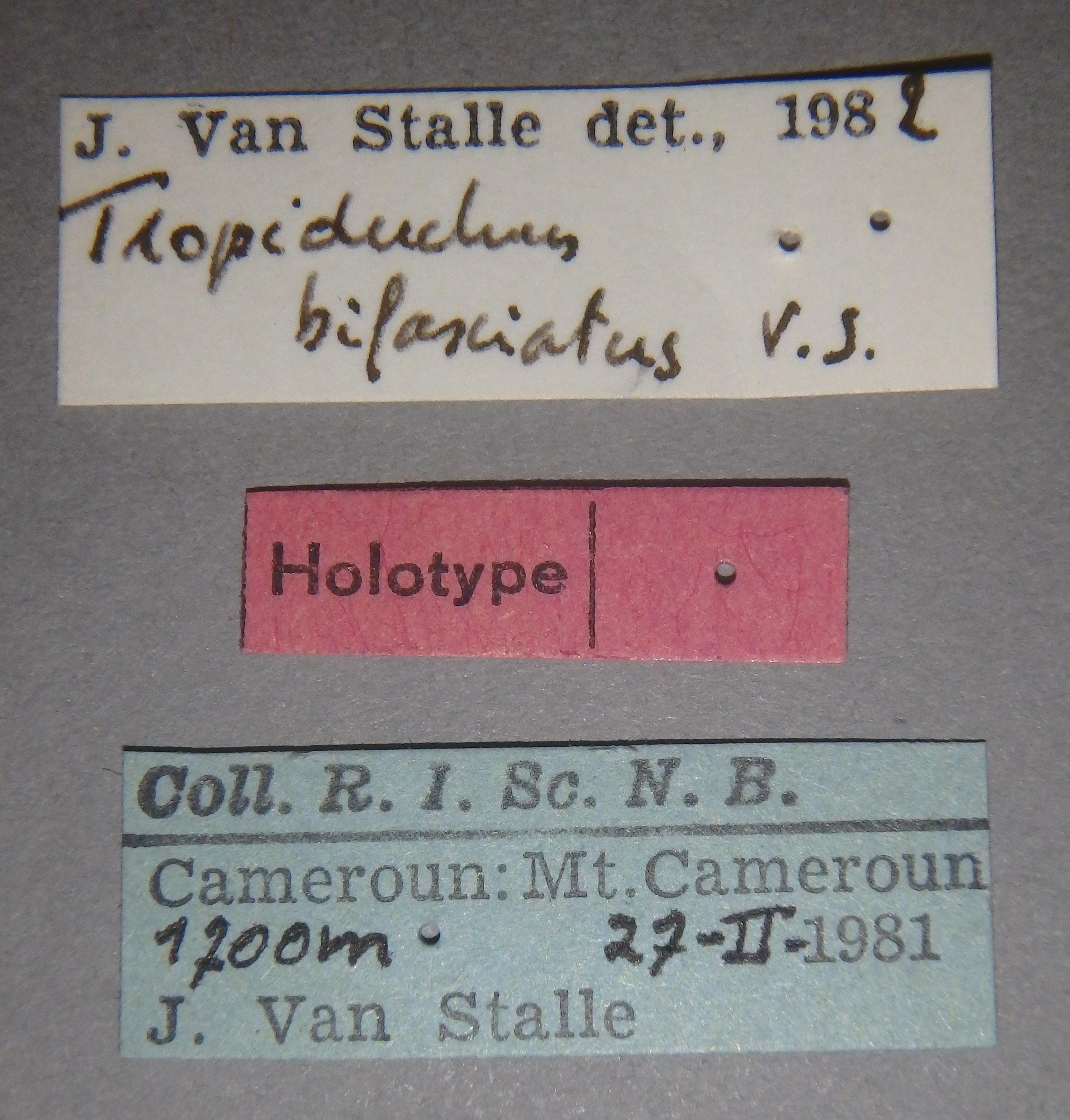Tropiduchus bifasciatus ht Lb.JPG