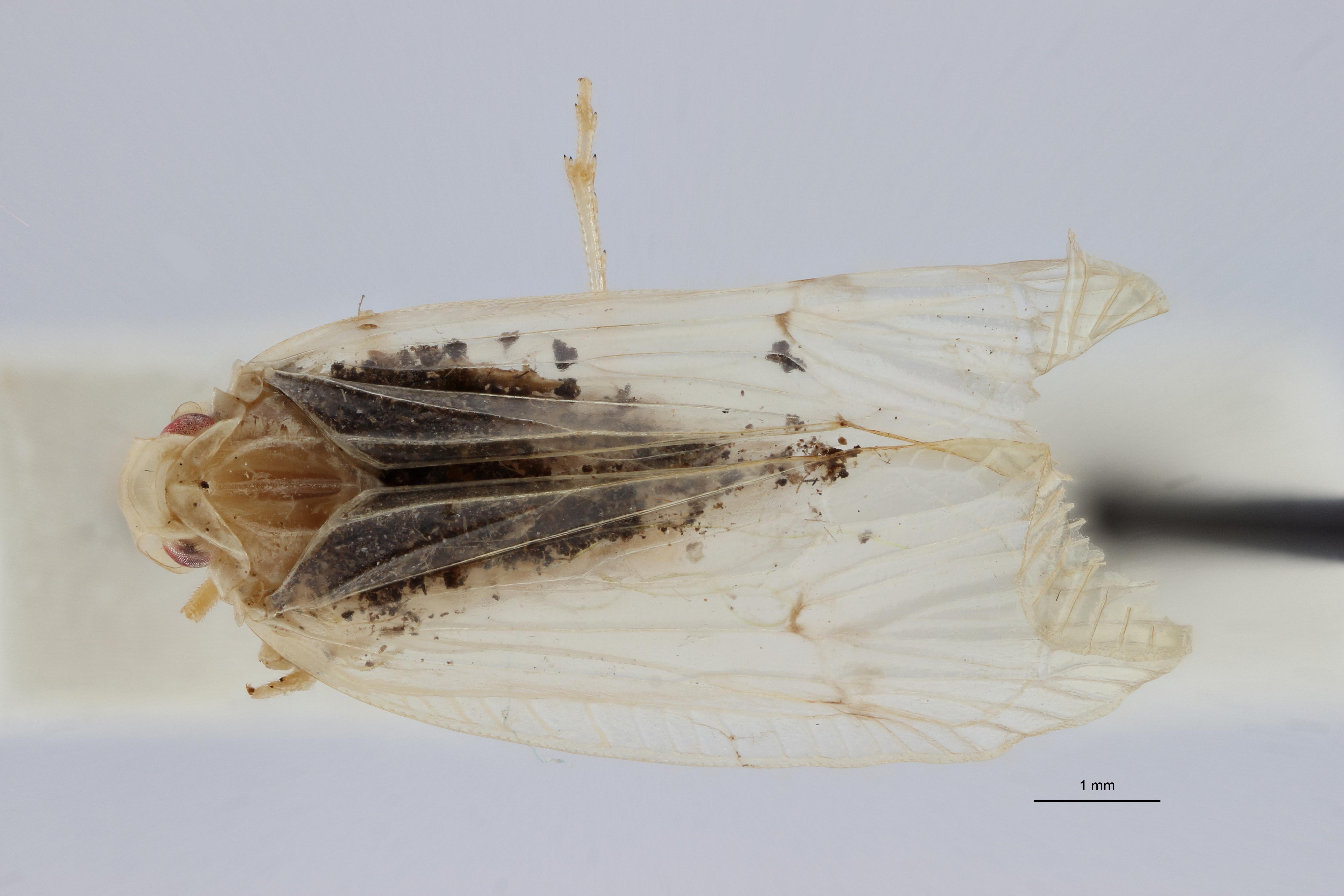 Tropiduchus pallidus pt D ZS PMax.jpg