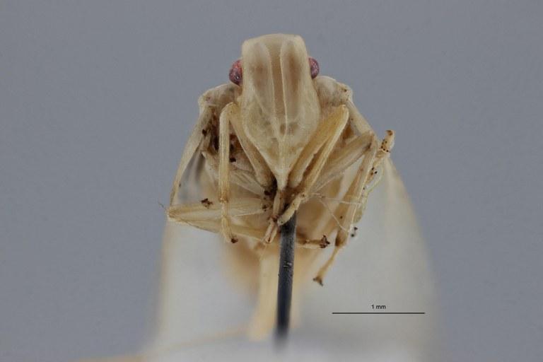 Tropiduchus pallidus pt F ZS PMax.jpg